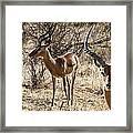 Proud Impala Framed Print