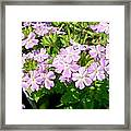 Purple And White Phlox Framed Print
