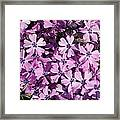 Purple Beauty Phlox Framed Print