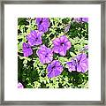 Petunias Purple Club Framed Print