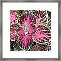 Purple Coleus With Seeds Framed Print