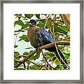 Purple-crested Touraco Framed Print