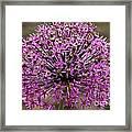 Purple Explosion Framed Print