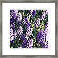 Purple Grape Hyacinth  Framed Print