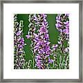 Purple Loosestrife Framed Print