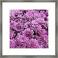 Purple Mums Framed Print