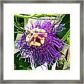 Purple Passion Flower Framed Print