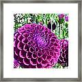 Purple Perfection Dahlia Flower Framed Print
