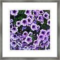 Purple Petunias Framed Print