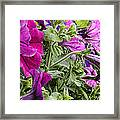 Purple Petunias Framed Print