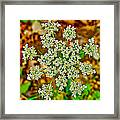 Queen Anne's Lace Or Wild Carrot Near Alamo-michigan Framed Print