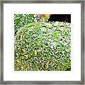 Lambs Ear Raindrops Framed Print by Candice Trimble