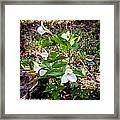 Rare Great White Trilliums Framed Print