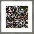 Rare Spring Beauty Framed Print