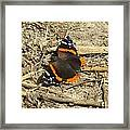 Red Admiral Framed Print