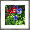 Red And Blue Anemones Framed Print