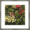 Red And Yellow In St Lucia Framed Print