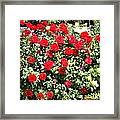 Red And Yellow Roses Framed Print