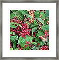 Red Berries And Green Leaves Framed Print
