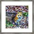 Red Fox At Home Framed Print