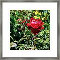 Red Rose. Framed Print