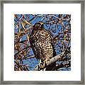 Red-tailed Hawk In A Willow Tree Framed Print