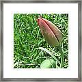 Red Tulip Bud Framed Print