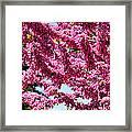 Redbud In Bloom Framed Print