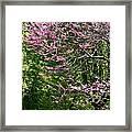 Redbud In The Woods Framed Print