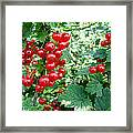 Redcurrant Berries Framed Print