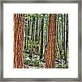 Redwoods 2 Big Basin Framed Print