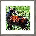 Reindeer Scratch Framed Print