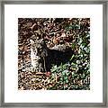Relaxing Male Bobcat Framed Print by Eva Thomas