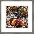 Relaxing Rooster Framed Print