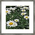 Requested Daisies Framed Print