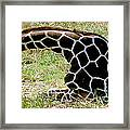 Reticulated Giraffe On Ground Framed Print