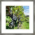 Ripe Grapes Right Before Harvest In The Summer Sun Framed Print