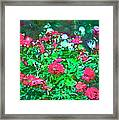 Rose 201 Framed Print