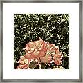 Rose 55 Framed Print
