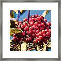 Rowan Berries Framed Print