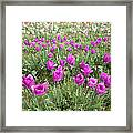 Rows Of Pink And Purple Tulip Flowers Framed Print