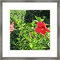 Ruby Red Hibiscus  Framed Print