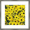 Rudbeckia Fulgida 'pot Of Gold'  Framed Print by Tim Gainey