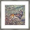 Rutting Buck Framed Print