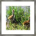Sandhill Crane Chicks  Framed Print