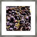 Sangiovese Grapes Framed Print