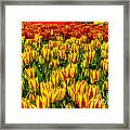 Sea Of Tulips Framed Print