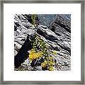 Seaside Goldenrod 1 Framed Print