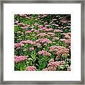 Sedum Garden Framed Print