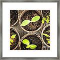 Seedlings Growing In Peat Moss Pots Framed Print
